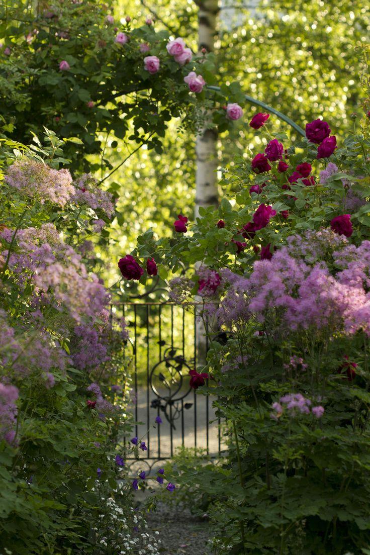 De engelske rosene blomstrer for fullt, mens en del historiske og ramblere står…