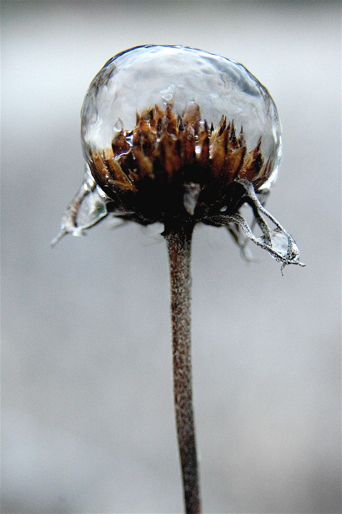 https://flic.kr/p/ye12Q | ice flower | A flower with an ice bubble around it taken on a rare snow day in Austin Texas last week.