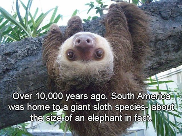 25+ best ideas about Facts about sloths on Pinterest | Sloths ...