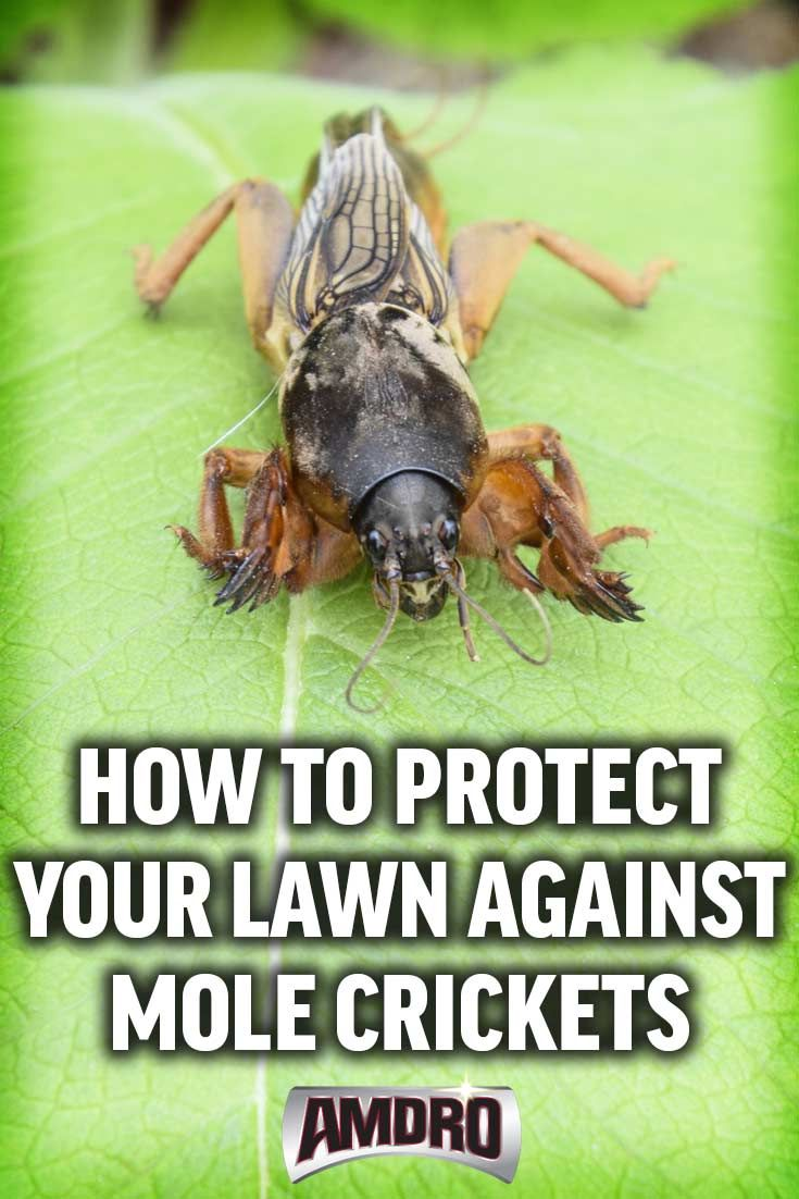 Mole crickets are sub-surface pests are responsible for widespread turf destruction.