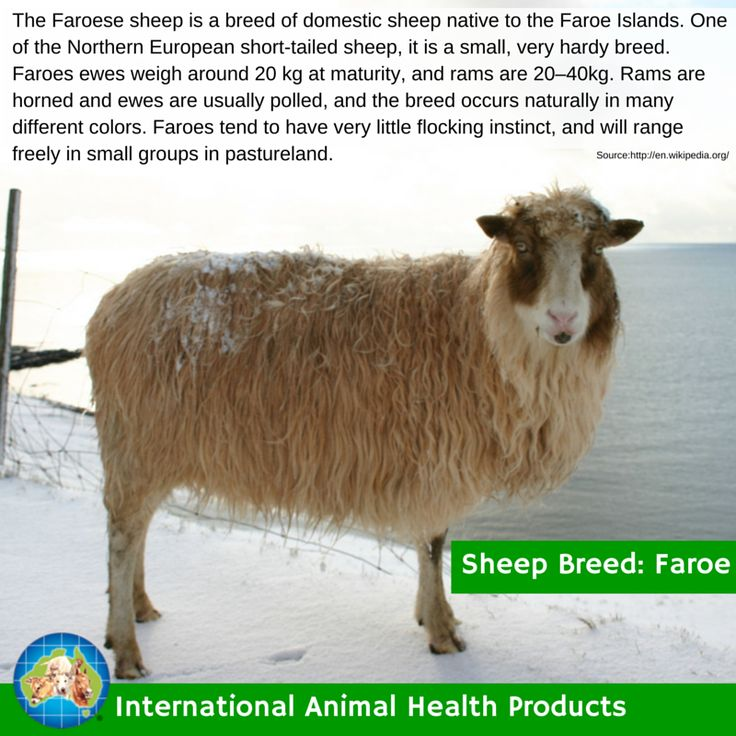 #faroesheep #faroe #sheep #ram #ewe #lamb #sheepbreed #breed #facts #green #iah #iahp #internationalanimalhealth #poultry #animal #facts #breeds #livamol #protexin