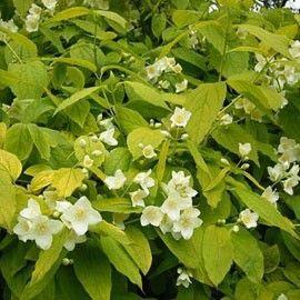 Les 43 meilleures images du tableau haie fleurie sur for Plante 150 maladies madagascar