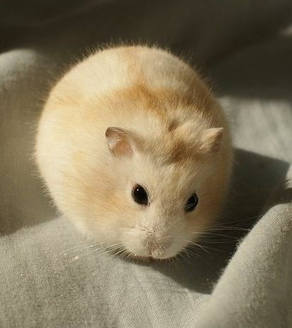 white dwarf hamsters with red eyes - photo #29