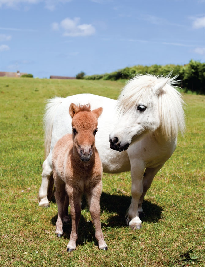 pygmy shetland ponies - I would love to get Aryanna a miniature horse to ride someday!