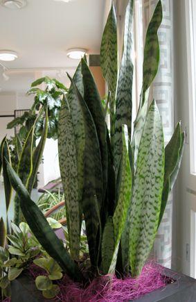 Isoanopinkieli - Sansevieria trifasciata - svärmorstunga