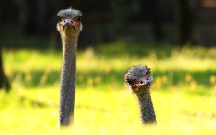 • OSTRICHES • look out from their enclosure at Taronga Western Plains Zoo in Dubbo, Australia • by MARK KOLBE •
