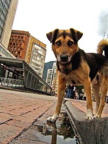 Perro callejero Bogota