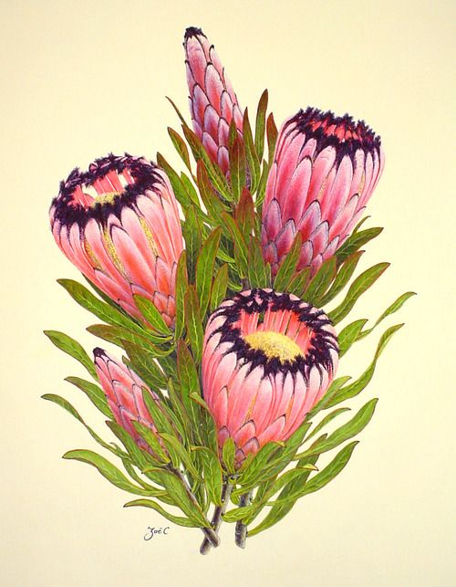 Protea nerufolia by Zoë Carter  From the exhibition:The Grover E. and Sally M. Murray Protea Paintings CollectionThe floral watercolor paintings of New Zealand artist, Zoë Carter