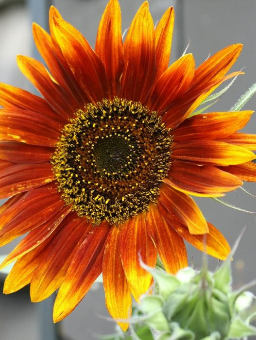Red sunflower close up