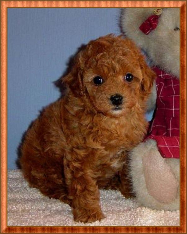 Toy Poodle | Red Tiny Toy Poodle Puppy - Female - For Sale by AKC