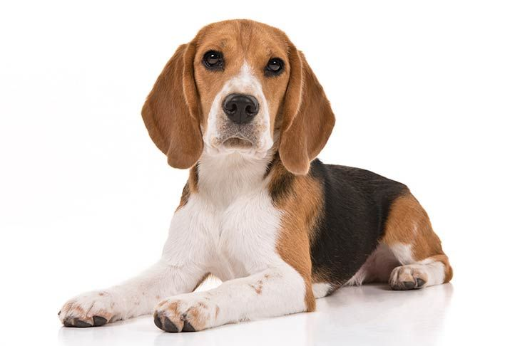 Top 10 Longest Living Dog Breeds Which Dogs Live The Longest