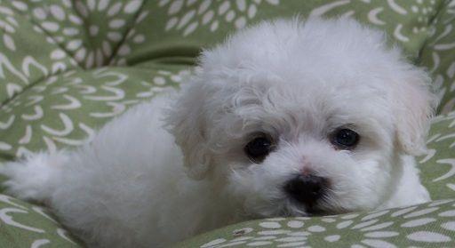 Bichon Frise puppy for sale in EUGENE, OR  ADN-58034 on PuppyFinder