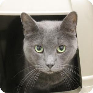 Russian Blue Cat For Adoption In Salem, Massachusetts - Chia