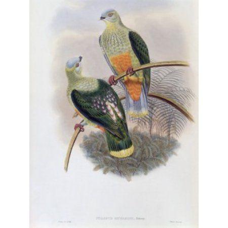 Richards Fruit-Pigeon John Gould (1804-1881 British) Canvas Art - John Gould (18 x 24)