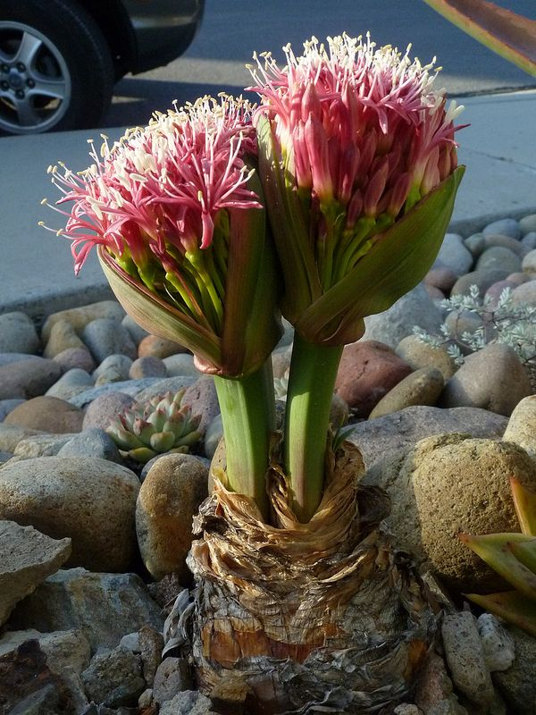 Boophone Disticha: 17 Best Images About ≤ CACTUS FLOWERS ≥ On Pinterest