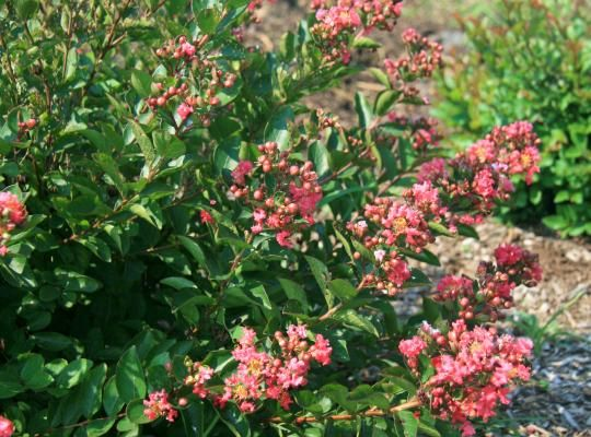 Bellini™ Raspberry Lagerstroemia | Star Roses and Plants