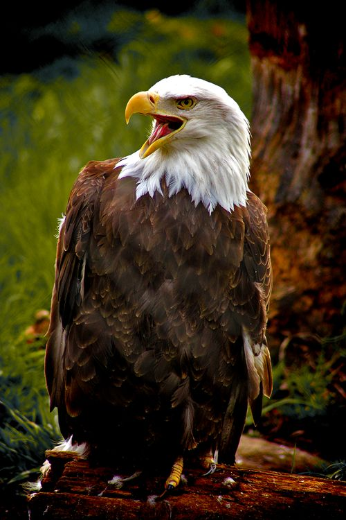 Bald Eagle // photo by Melissa of earthandanimals
