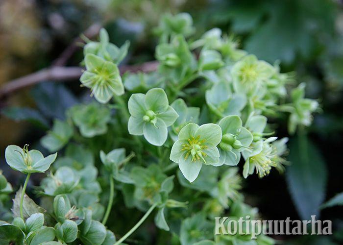 Jouluruusu (Helloborus lividus), Bergianska Trädgård, Tukholma.