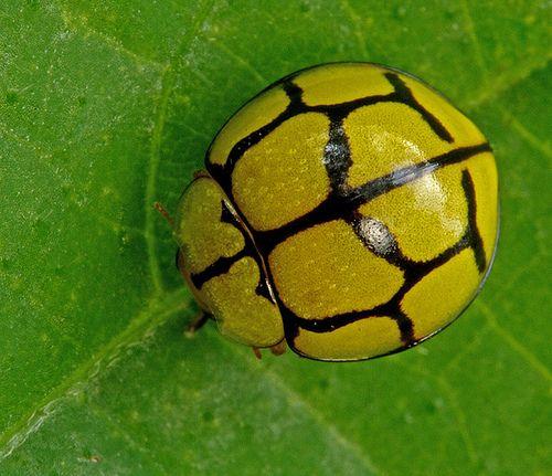 Yellow Ladybug Beetle This beetle looks like a soccer ball....