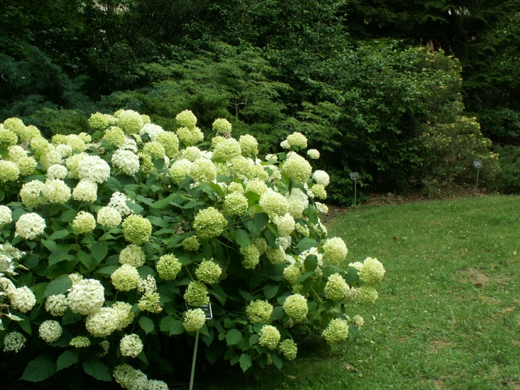 the 25 best ideas about hydrangea arborescens annabelle. Black Bedroom Furniture Sets. Home Design Ideas