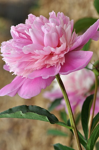 Beautiful Peonie