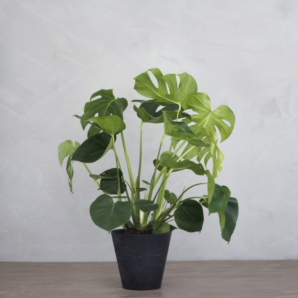 1000 ideas about monstera deliciosa on pinterest cheese plant ficus and indoor. Black Bedroom Furniture Sets. Home Design Ideas