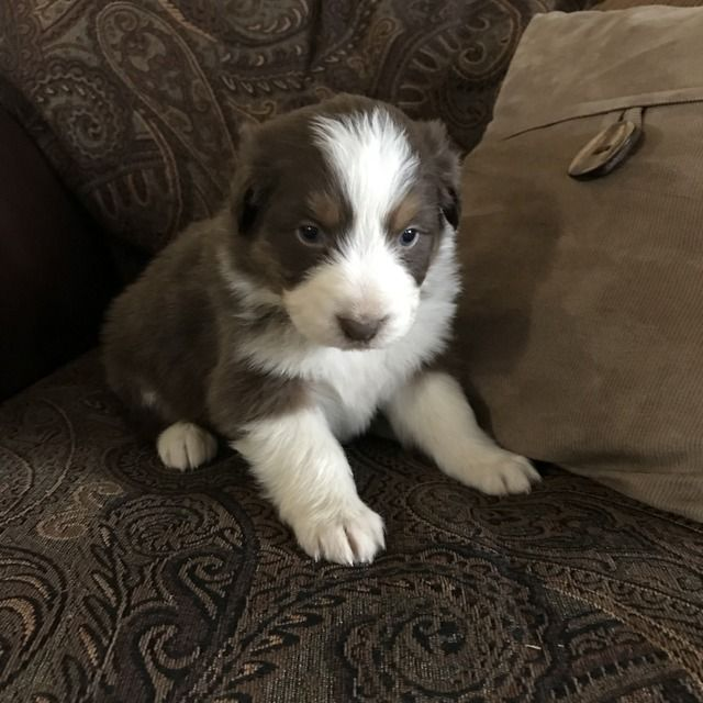 Litter Of 7 Australian Shepherd Puppies For Sale In Pendleton Or
