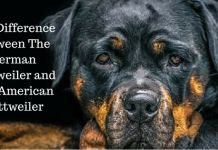 Different Kinds of Rottweilers , American , German, Roman & Rare!!