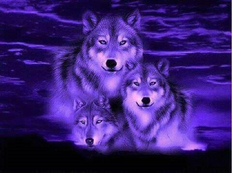 Wolves …