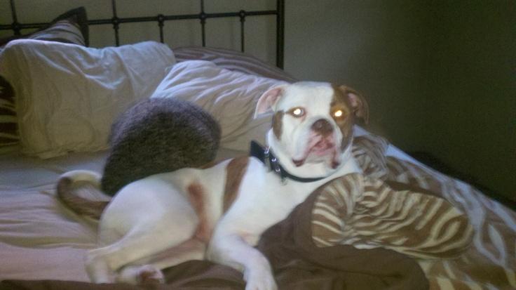 """Otis """"the king of sling"""" Armeni  Best Johnson American Bulldog ever!!!"""