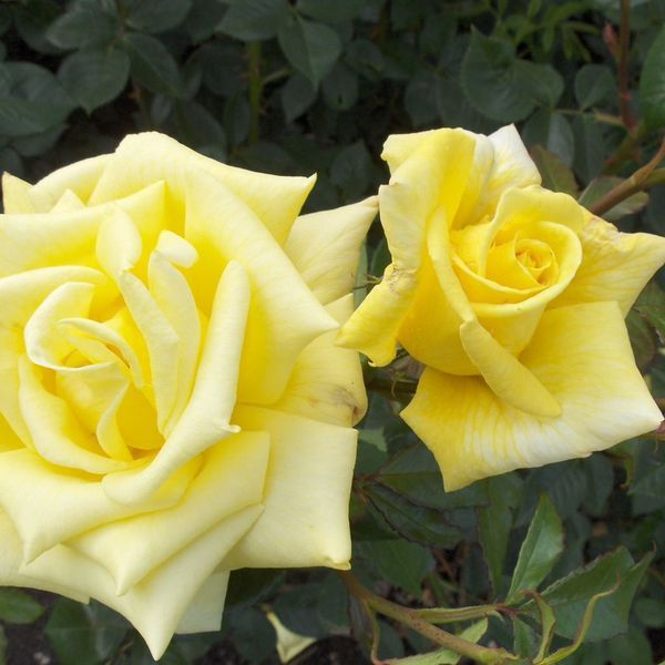 'Berolina' | Hybrid Tea rose