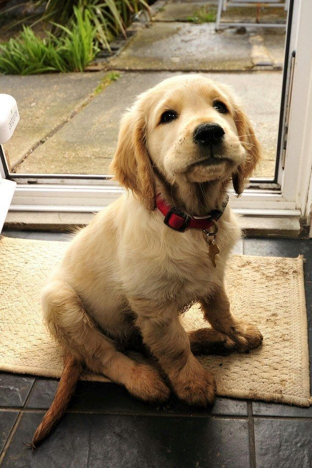 I just need to jump in 1 more puddle, please just 1 more! | Community Post: 61 Times Golden Retrievers Were So Adorable You Wanted To Cry