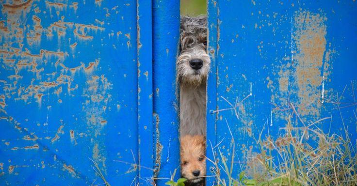 Dois cachorros olham atrás de uma cerca em Bucareste, na Romênia