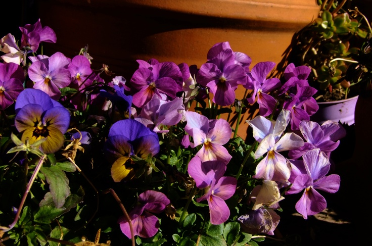 Some pretty pansies.