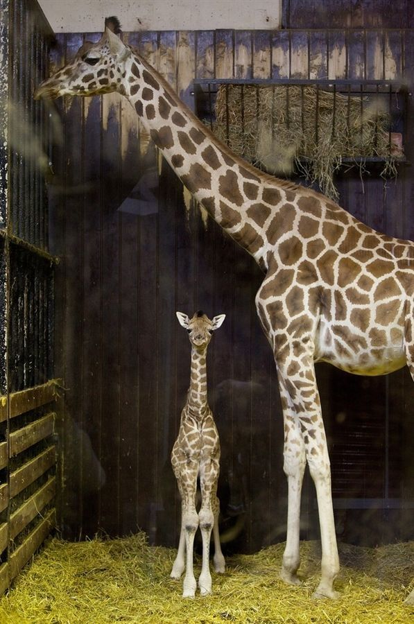 A three-day-old newborn giraffe stands next to its mother, named Tatu, on April 11 at the Madrid Zoo Aquarium in Madrid, Spain. The giraffes are Rothschild giraffes, which are listed as an endangered species in the wild. by paige