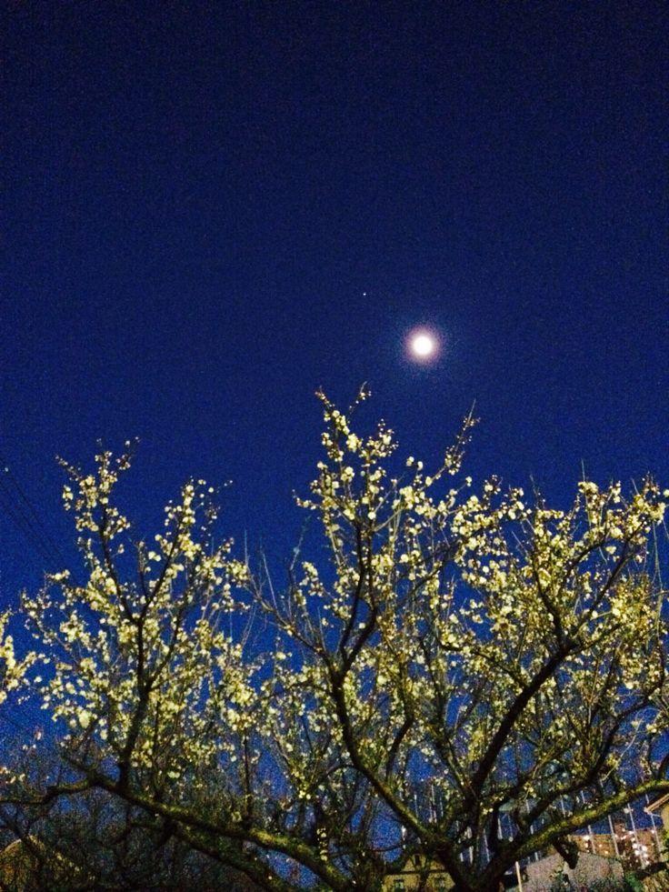梅 #ume #moon