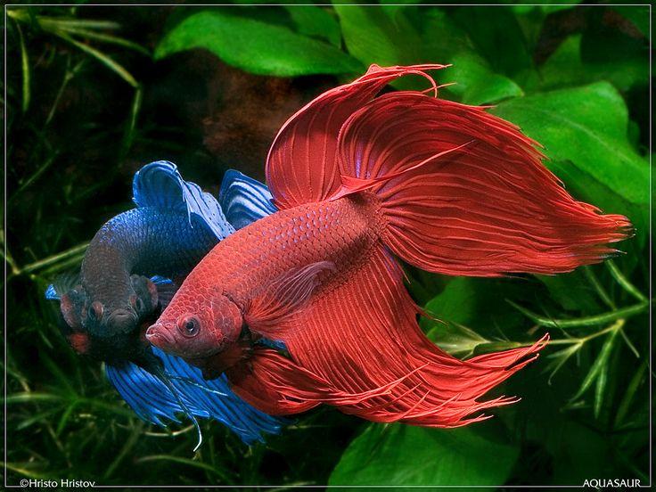Bettas red and blue bettas pinterest for Red betta fish