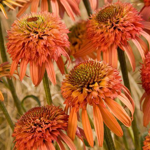 Echinacea 'Irresistible (PBR)'