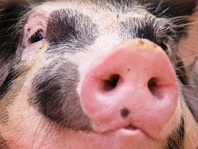 Animal welfare issues could become a new trade barrier following a landmark ruling by the World Trade Organization