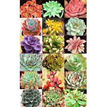 Hens and Chicks Variety Mix Rare Houseleeks Succulent Seed Flowering - 20 Seeds