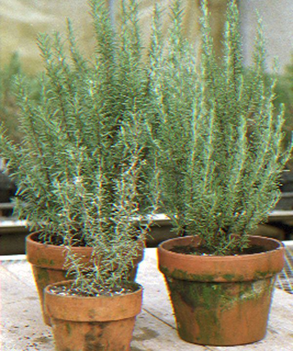 1000 ideas about rosemary plant on pinterest how to for What plants can i grow indoors