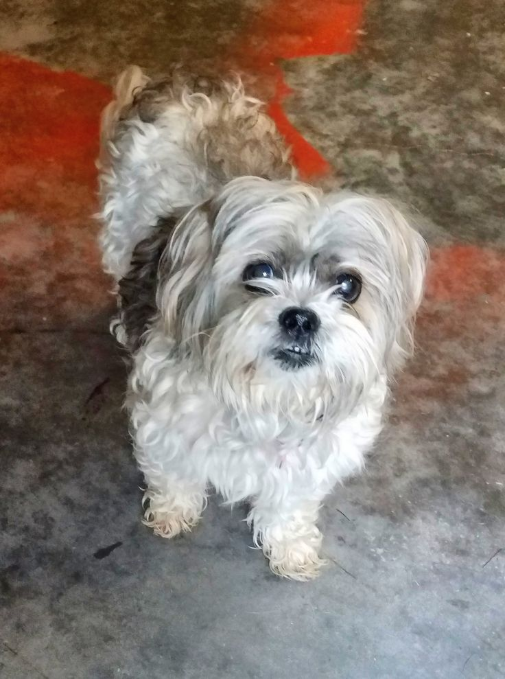 shih tzu rescue sacramento 78 best ideas about dogs for adoption on pinterest 7100