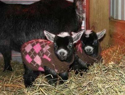 pygmy goats...in sweaters. I can't handle the cuteness.