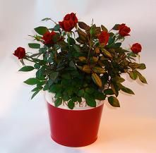 Sienna Christmas Ceramic  thick ceramic in scarlet red with cream lip filled with flowering cyclamen or mini-roses! http://www.summerhillnurseries.com.au/www/content/default.aspx?cid=1804&fid=670