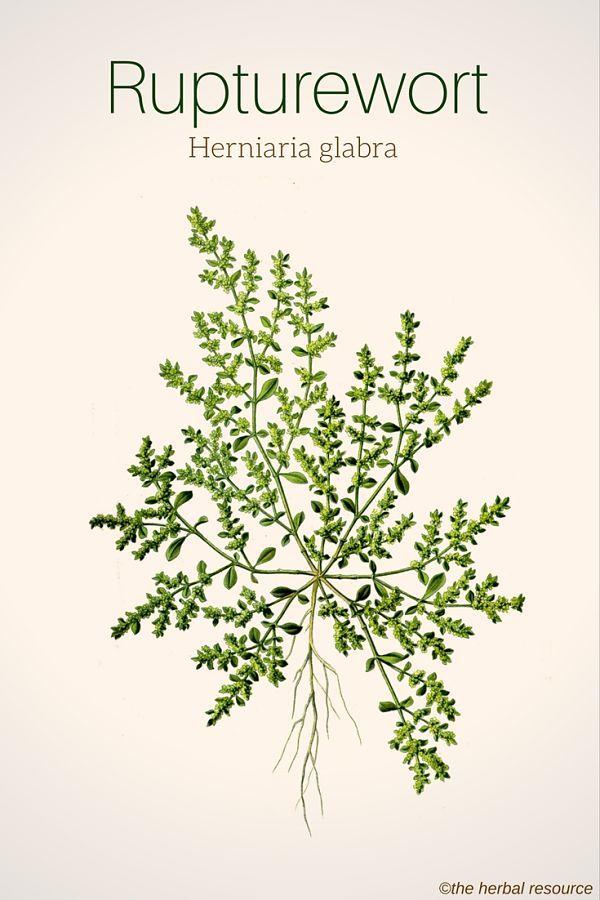 Rupturewort Herniaria glabra                                                                                                                                                                                 More