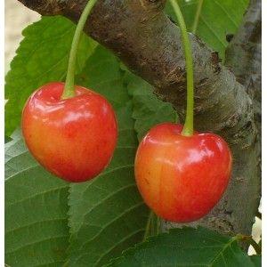 Cerisier 'Bigarreau Napoléon' - Pépin'hier