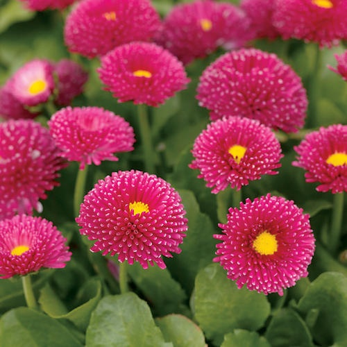 Polar Red - English Daisy - Bellis perennis  Garden Height: 4 - 5 Inches  Spacing Maximum: 7 Inches  Spread Maximum: 0 Inches  Habit: Upright  Light Requirement: Part Sun to Sun  Bloom Time: Spring  Hardiness Zones: 4a to 8b  Great for early spring color  Needs Good Drainage