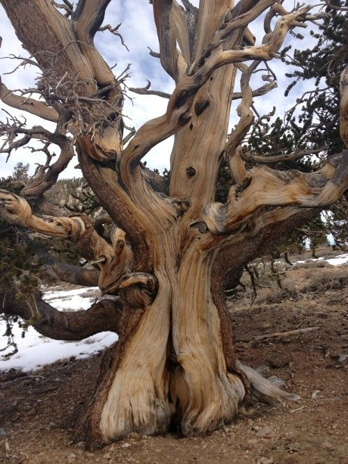 This lovely lady stands in California's Bristlecone Pine Forest http://living-planet.tumblr.com/