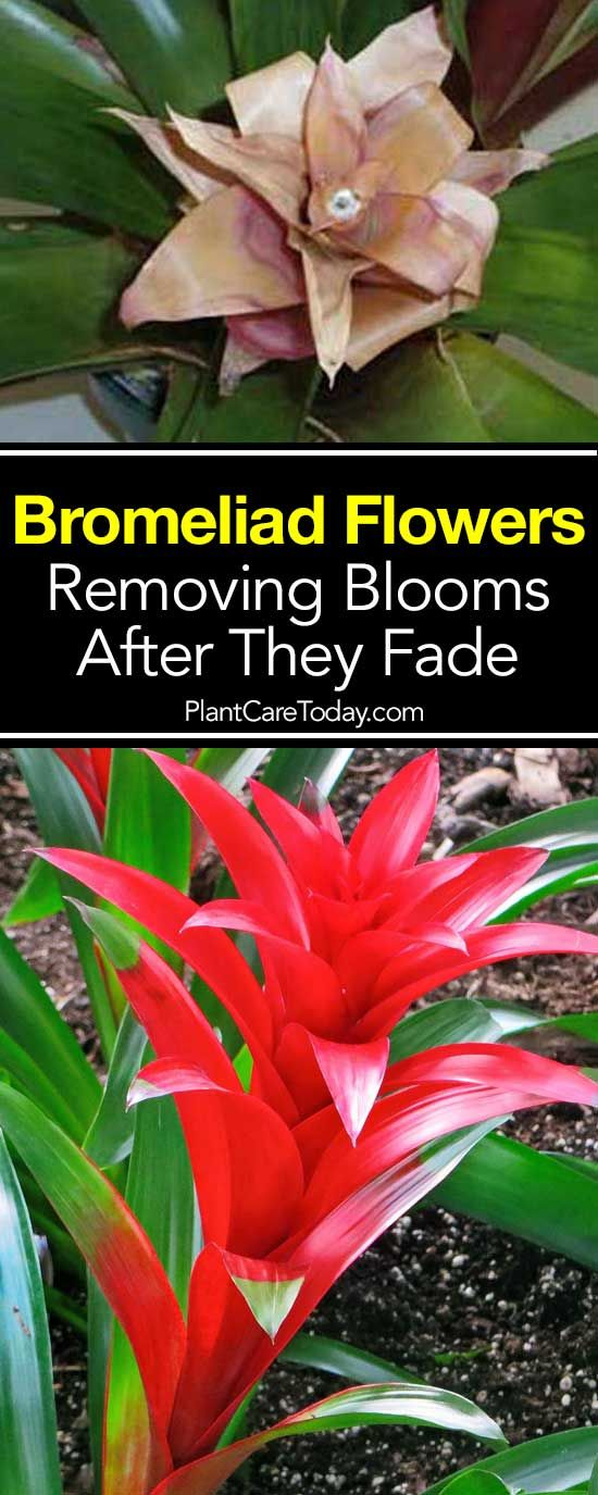 Removing Bromeliad Flowers After They Fade