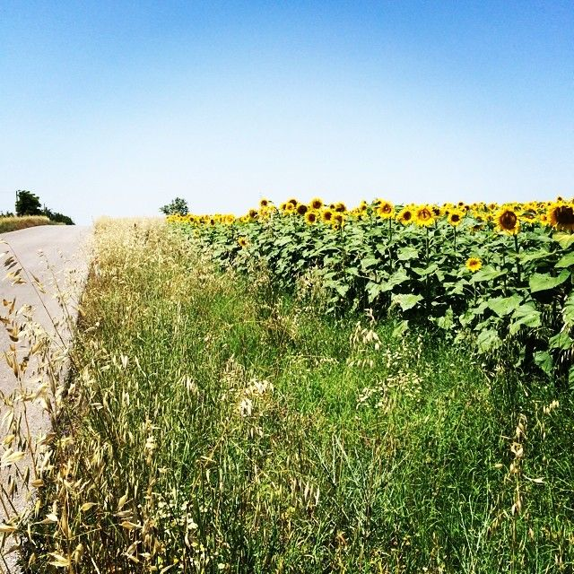 Sunflower field in Turkey. Photo courtesy of denaoc on Instagram.